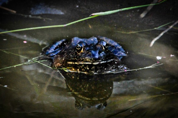 This is my backyard bullfrog, photographed by Robin Kempster